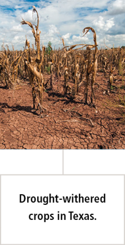 drought-withered crops in Texas