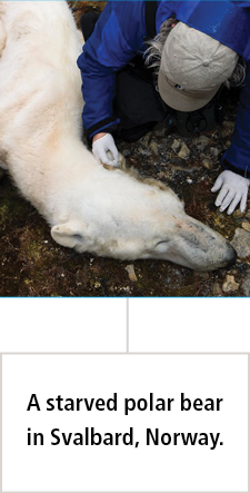 starved polar bear in Svalbard, Norway